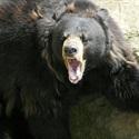 Boulder Bears - Calhoun