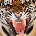 Northport Tigers - SCPAL - Tigers