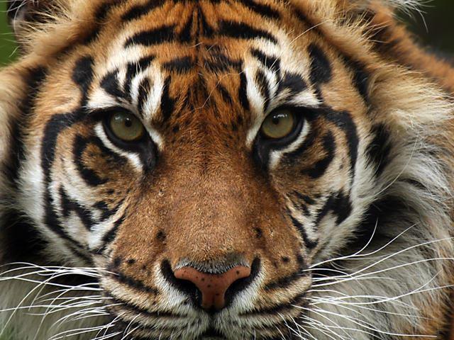 Oakville Jr. Tigers - 7th Grade