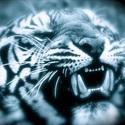 Lakewood High School - Tiger Football