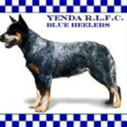Yenda Blueheelers - Yenda Blueheelers