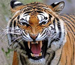 Wilson High School - Tiger Football